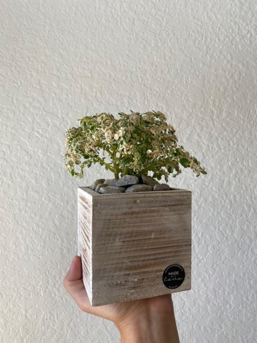 mini paradise plant - mothers day