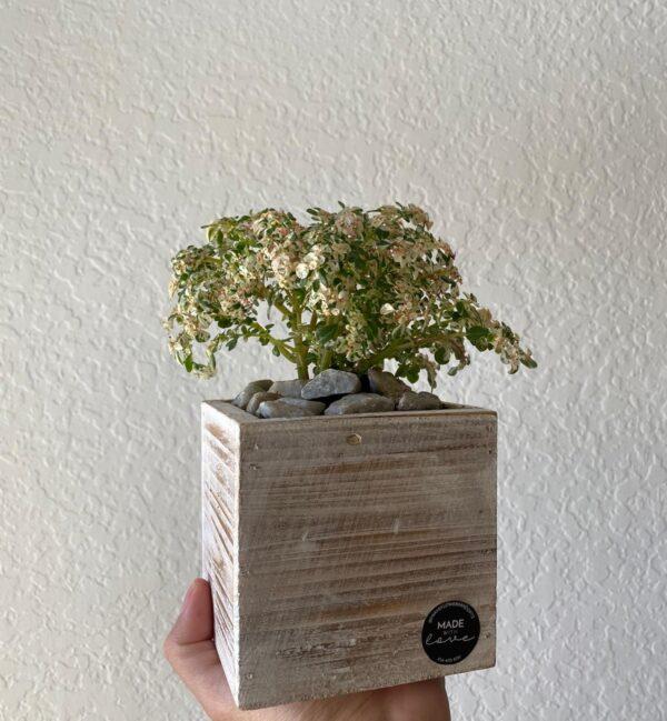 Mini Paradise Plant